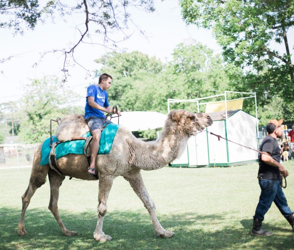 riding a camel at texas crawfish and music festival in old town spring 2018 houston lifestyle blogger mom blog
